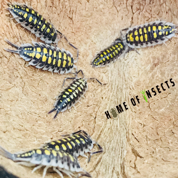 "Porcellio haasi ""high yellow"""